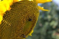 Manosee la abeja en un girasol Fotos de archivo libres de regalías