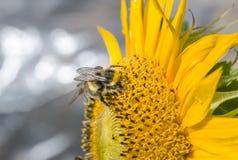 Manosee la abeja en un girasol Fotos de archivo