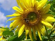 Manosee la abeja en un girasol Imagen de archivo