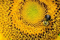 Manosee la abeja en un girasol Foto de archivo