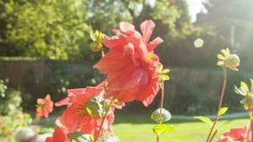 Manosee la abeja en un jardín metrajes