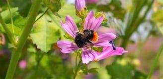 Manosee la abeja en un jardín de flores en Zwolle Imágenes de archivo libres de regalías