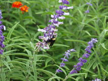 Manosee la abeja en un Wildflower Imágenes de archivo libres de regalías