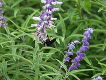Manosee la abeja en un Wildflower Imagen de archivo libre de regalías
