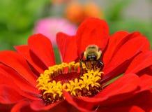 Manosee la abeja en un zinnia rojo Fotografía de archivo