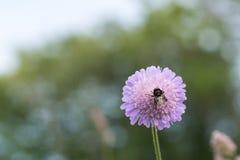 Manosee la abeja en una cabeza de flor Imagenes de archivo