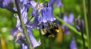 Manosee la abeja en una campanilla Fotos de archivo libres de regalías