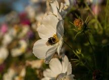 Manosee la abeja en una flor Imagen de archivo libre de regalías
