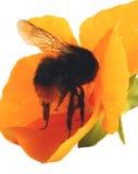 Manosee la abeja en una flor Imágenes de archivo libres de regalías