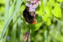 Manosee la abeja en una flor Fotos de archivo