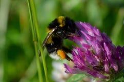 Manosee la abeja en una flor Imagenes de archivo
