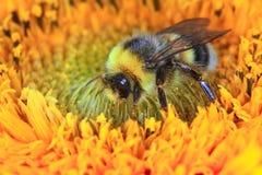 Manosee la abeja en una flor Fotografía de archivo libre de regalías