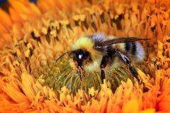 Manosee la abeja en una flor Fotos de archivo libres de regalías