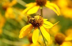 Manosee la abeja en una flor Foto de archivo libre de regalías