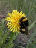 Manosee la abeja en una flor Foto de archivo