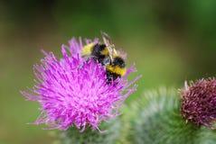 Manosee la abeja en una flor Fotografía de archivo