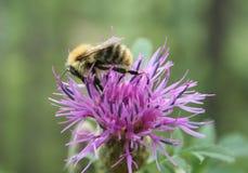 Manosee la abeja en una flor Imagen de archivo
