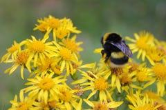 Manosee la abeja en una flor amarilla Foto de archivo libre de regalías