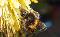 Manosee la abeja en una flor amarilla Fotografía de archivo libre de regalías