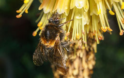 Manosee la abeja en una flor amarilla Fotos de archivo