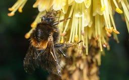 Manosee la abeja en una flor amarilla Imágenes de archivo libres de regalías