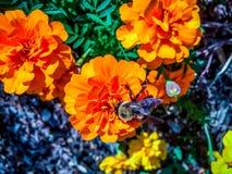 Manosee la abeja en una flor anaranjada Imagen de archivo