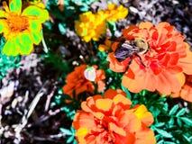 Manosee la abeja en una flor anaranjada Fotografía de archivo libre de regalías
