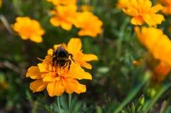 Manosee la abeja en una flor anaranjada Fotos de archivo