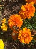 Manosee la abeja en una flor anaranjada Imagen de archivo libre de regalías