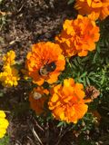 Manosee la abeja en una flor anaranjada Foto de archivo libre de regalías