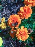 Manosee la abeja en una flor anaranjada Foto de archivo