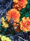 Manosee la abeja en una flor anaranjada Imagenes de archivo