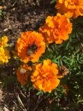 Manosee la abeja en una flor anaranjada Imágenes de archivo libres de regalías