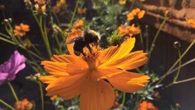Manosee la abeja en una flor anaranjada Fotografía de archivo