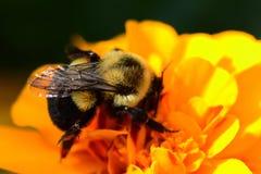 Manosee la abeja en una flor anaranjada de la maravilla Imagenes de archivo