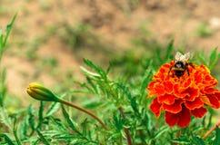 Manosee la abeja en una flor brillante que recoge el néctar Foto de archivo