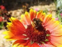 Manosee la abeja en una flor combinada Fotos de archivo libres de regalías