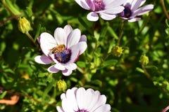 Manosee la abeja en una flor de la margarita africana Foto de archivo libre de regalías