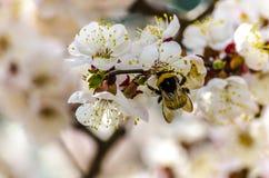 Manosee la abeja en una flor del albaricoquero Imágenes de archivo libres de regalías