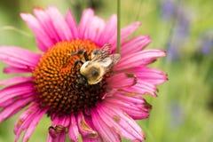 Manosee la abeja en una flor del echinacea Imagenes de archivo