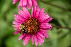 Manosee la abeja en una flor del echinacea Fotografía de archivo
