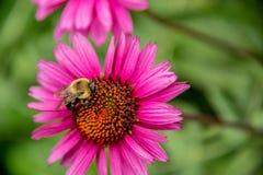 Manosee la abeja en una flor del echinacea Fotos de archivo libres de regalías