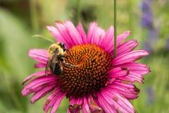 Manosee la abeja en una flor del echinacea Imágenes de archivo libres de regalías