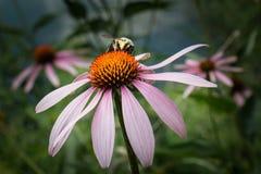 Manosee la abeja en una flor del echinacea Foto de archivo libre de regalías