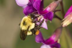 Manosee la abeja en una flor del guisante de playa en Connecticut Fotografía de archivo libre de regalías