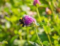 Manosee la abeja en una flor del trébol rojo Fotografía de archivo libre de regalías