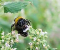 Manosee la abeja en una flor en el jardín Imagenes de archivo