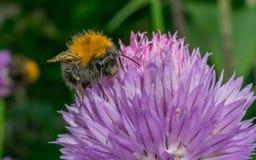 Manosee la abeja en una flor púrpura Imágenes de archivo libres de regalías
