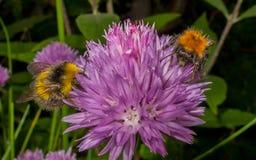 Manosee la abeja en una flor púrpura Fotos de archivo