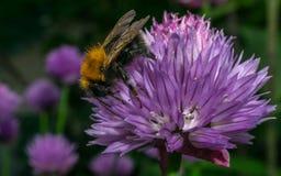 Manosee la abeja en una flor púrpura Foto de archivo libre de regalías